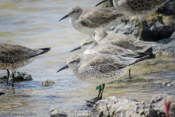 Banded Red Knot at Cargill