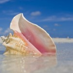 CITES and FAO join forces to conserve Queen Conch