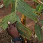 Black Sigatoka disease suspends Dominica's banana exports