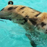 Swimming Pigs? Adventure story out of The Bahamas