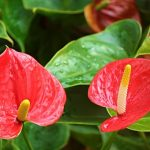 Anthurium's Beauty